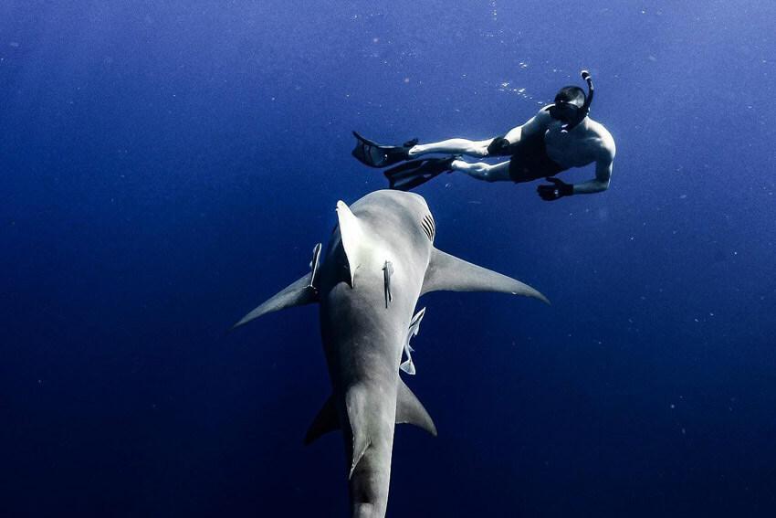 An image of a diver next to a large shark on a USVI Shark Diving charter.