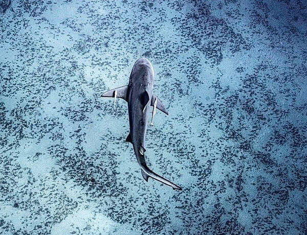 An image of a Blacktip Shark in the clear blue waters of the USVI.
