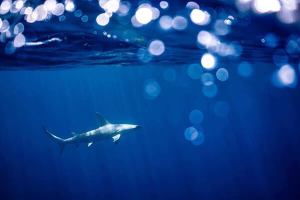 An mage of a gorgeous great hamerhead shark in the waters of the Virgin Islands