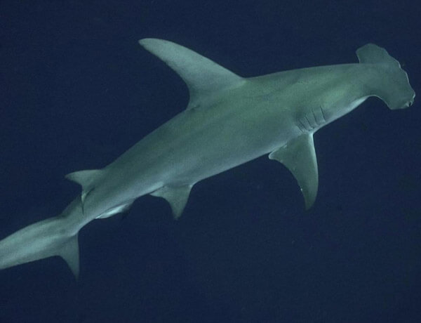 An image of a great hammerhead in the blue waters of the USVI.