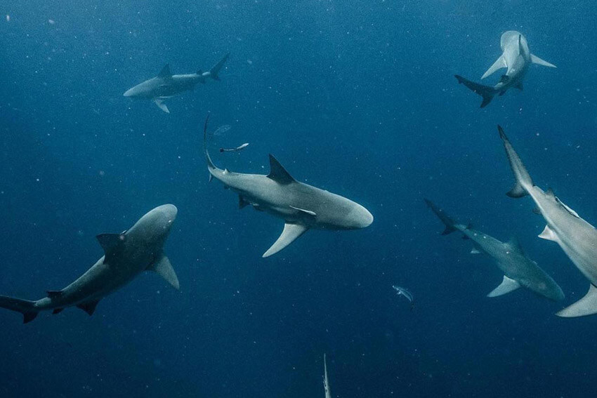 An image of the powerful sharks in the wild off the coast of the US Virgin Islands.