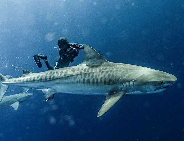 An image of a large and powerful tiger shark with a underwater camerman close by it on a USVI Shark Diving charter.