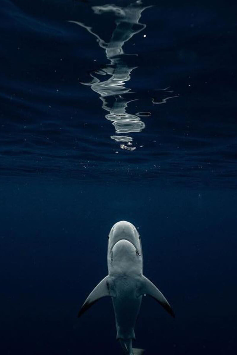 An image of a shark near the surface of the ocean on a USVI shark diving adventure.